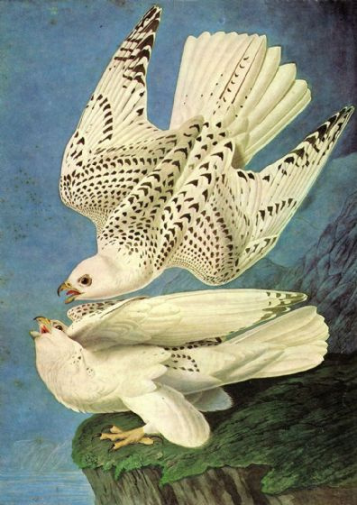 Audubon, John James: Iceland of Jer Falcon, White Gyrfalcon. (Falco Rustiocolis) Ornithology Fine Art Print/Poster. Sizes: A4/A3/A2/A1 (001120)